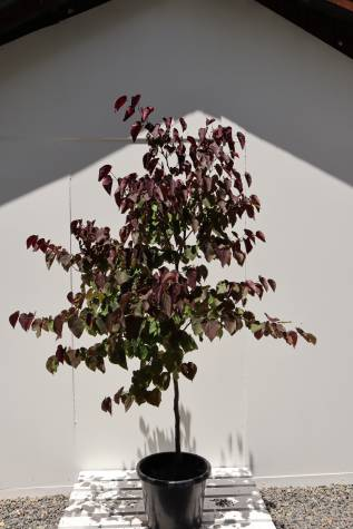 buy cercis chinensis forest pansy online