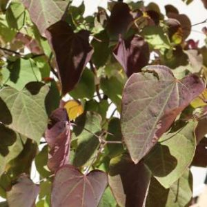 cercis chinensis forest pansy online
