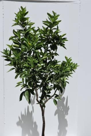 citrus aurantifolia tahitian lime melbourne
