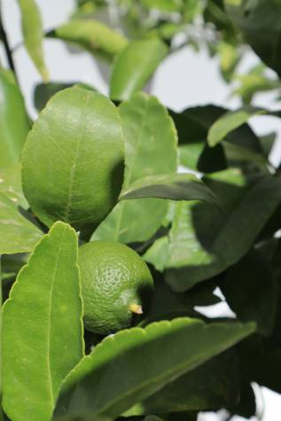 citrus aurantifolia tahitian lime