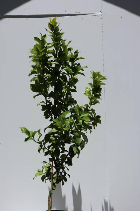 citrus limon eureka online