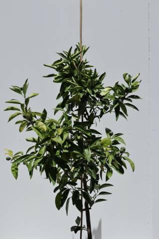 citrus reticulata tangelo mineola plant