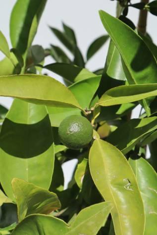 citrus reticulata tangelo mineola