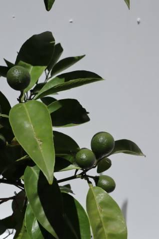 citrus reticulata tangelo mineola online