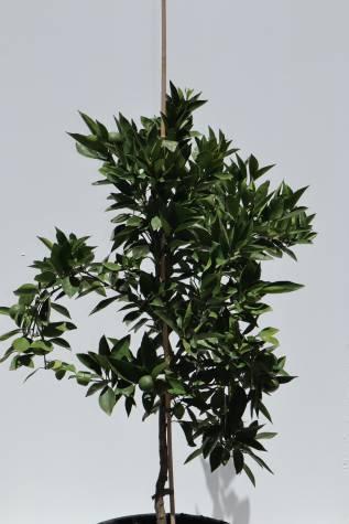 citrus sinensis washington navel online