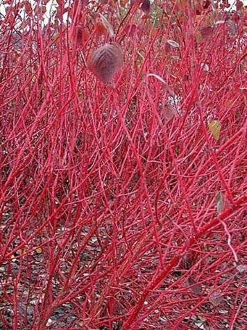 cornus sericea red twig online