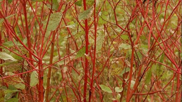 buy cornus sericea red twig online
