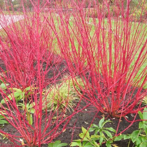 cornus sericea red twig for sale