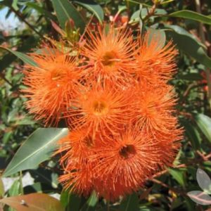corymbia ficifolia baby orange