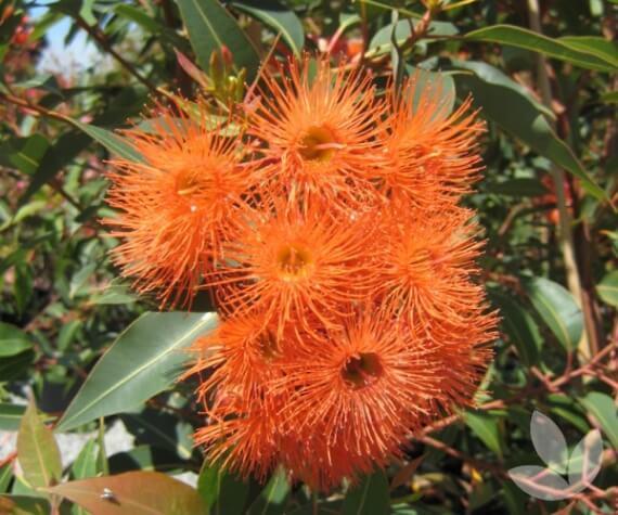 corymbia ficifolia baby orange