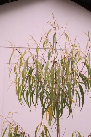 evergreen Corymbia citriodora scentuous