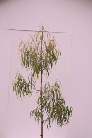 corymbia citriodora scentuous
