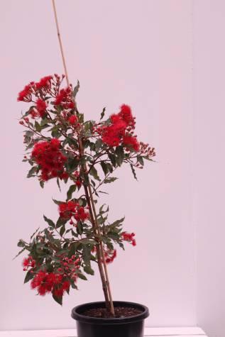 corymbia ficifolia wild fire melbourne