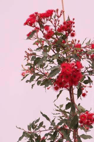 buy corymbia ficifolia wild fire online