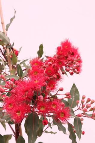 corymbia ficifolia wild fire online