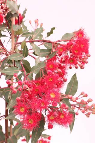 corymbia ficifolia wild fire