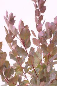 Cotinus coggygria Grace online