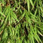 drepanostachyum falcatum Bamboo Plants
