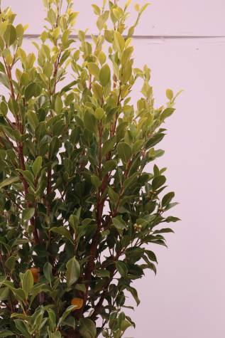 buy ficus microcarpa flash