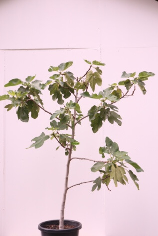 buy fig carica black genoa