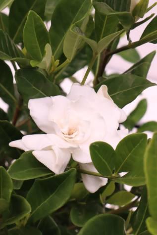 buy gardenia augusta florida