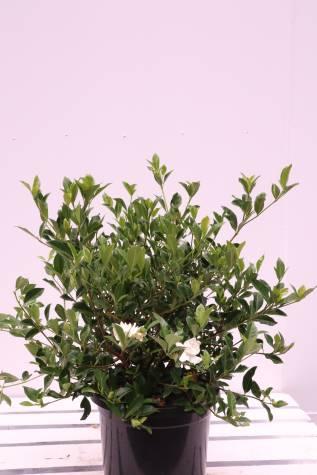 gardenia augusta florida melbourne