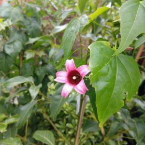 Brachychiton griffiths pink - Kilby Tree Wholesale Nursery Kew