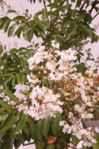 lagerstroemia indica natchez Best Feature Trees