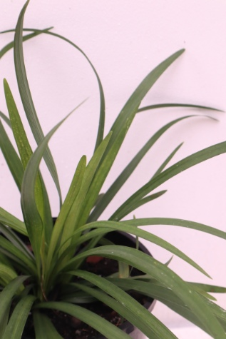 liriope muscari royal purple melbourne