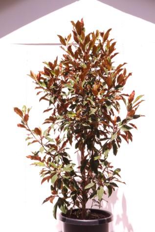 magnolia kay paris