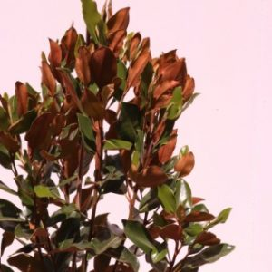 magnolia little gem online