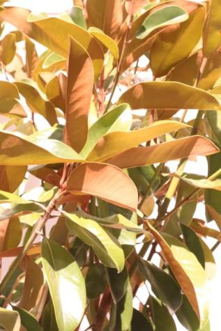 Magnolia Grandiflora St Marys Kilby Park Tree Farm