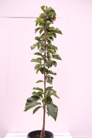 magnolia soulangeana elizabeth