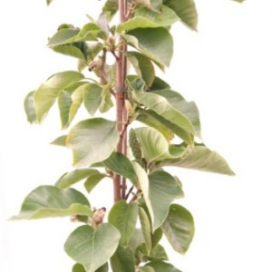 magnolia soulangeana elizabeth online