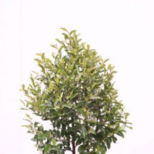michelia white caviar plant