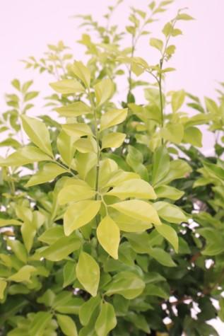 murraya paniculata plant