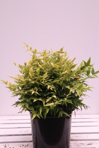 Nandina domestica Lemon and Lime