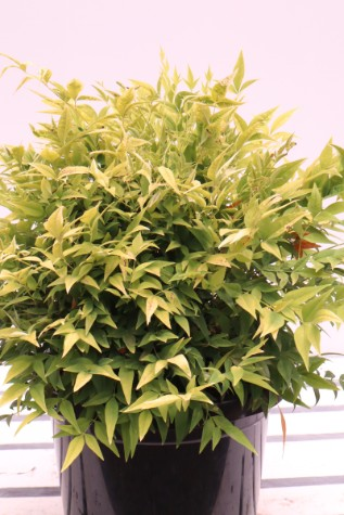 buy nandina domestica lemon and lime