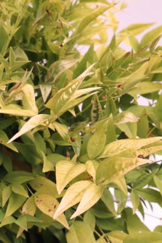 nandina domestica lemon and lime online