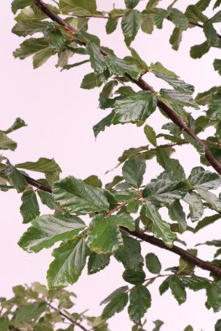 parrotia persica persian witch hazel