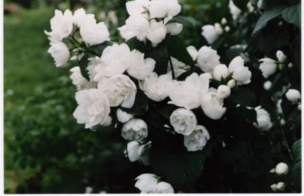 philadelphus virginal for sale