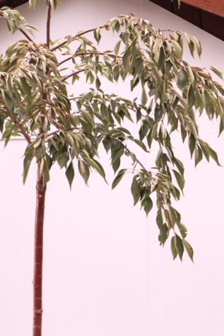 prunus mt fuji plant
