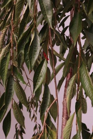 prunus pendula pink showers white weeping cherry