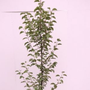 pyrus calleryana chanticleer