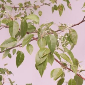 Pyrus nivalis for sale
