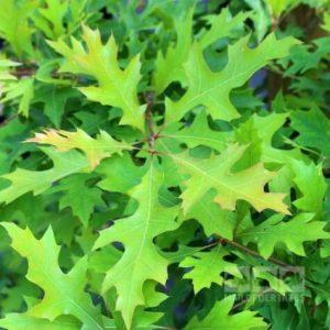 quercus palustris green pillar