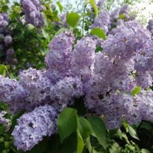 syringa vulgaris katherine havemeyer'