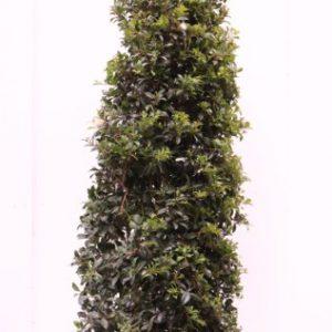 syzygium australe select
