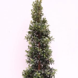 evergreen syzygium australe straight and narrow