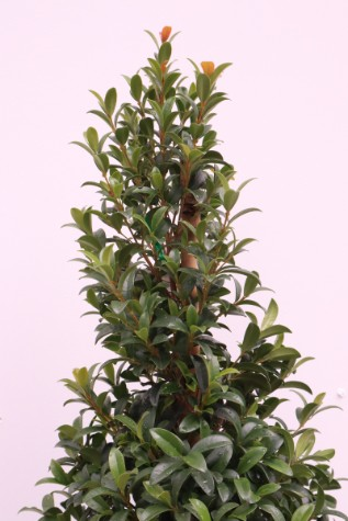 syzygium australe straight and narrow